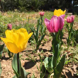 Tulipani Giardino Botanico Veneziani